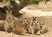 Meerkat Posters - Portrait group of meerkat Poster by Anek Suwannaphoom