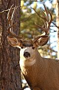 Deer Posters - Portrait of a 15-point Buck Poster by Max Allen