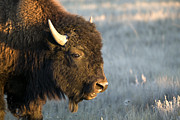 Bison Photos - Portrait Of A Bison by Pete Ryan