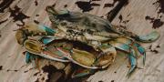 California Painting Posters - Portrait of a Blue Crab Poster by Rob Dreyer AFC