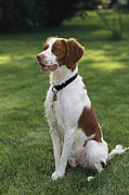 Portrait Of A Brittany Spaniel Print by Paul Damien