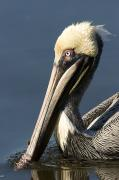 Animal Portraits Prints - Portrait Of A Brown Pelican Pelecanus Print by Tim Laman
