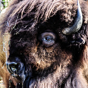 Heiko Mahr - Portrait of a Buffalo