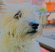 Cairn Terrier Photos - Portrait Of A Cairn Terrier by Barbara Dean