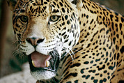 Jaguars Prints - Portrait Of A Captive Jaguar Panthera Print by Tim Laman