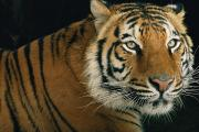 Portraits Of Animals Prints - Portrait Of A Captive Tiger, Panthera Print by Michael Nichols