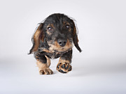 Dog Walking Framed Prints - Portrait Of A Dachshund Puppy Framed Print by Brand New Images