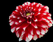 White Red And Yellow Prints - Portrait of a Dahlia Print by Cheryl Young