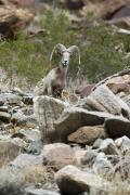 Cute Photographs Posters - Portrait Of A Desert Big Horn Sheep Poster by Rich Reid