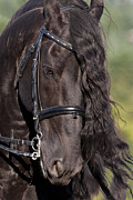 Friesian Posters - Portrait Of A Friesian D6438 Poster by Wes and Dotty Weber