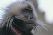 Monkeys Prints - Portrait Of A Gelada Print by Michael Nichols