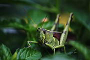 Theresa Willingham Metal Prints - Portrait of a Grasshopper Metal Print by Theresa Willingham