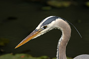 Heron Portrait Posters - Portrait of a Great Blue Heron  Poster by Juergen Roth