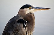 Portrait Of A Great Blue Heron Print by Paulette  Thomas