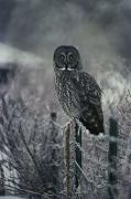Roosting And Resting Prints - Portrait Of A Great Gray Owl Print by Michael S. Quinton