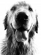 Black-and-white Metal Prints - Portrait of a Happy Dog Metal Print by Osvaldo Hamer