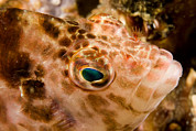 Malapascua Island Photos - Portrait Of A Hawkfish Cirrhitichthys by Tim Laman