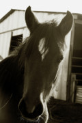 Ranch Life Prints - Portrait of a Horse Print by Toni Hopper