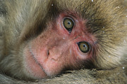 Macaques Prints - Portrait Of A Japanese Macaque, Or Snow Print by Tim Laman