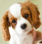 King Charles Spaniel Prints - Portrait Of A King Charles Spaniel Puppy. Print by Marcy Maloy