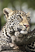 Animal Cards Framed Prints - Portrait of a Leopard Framed Print by Richard Garvey-Williams