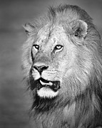 Big Cats Framed Prints - Portrait of a Lion Framed Print by Richard Garvey-Williams