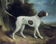 Hound Paintings - Portrait of a liver and white pointer by George Garrard