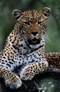 Big Cats Photos - Portrait Of A Male Ten-month-old by Chris Johns