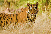 The Tiger Metal Prints - Portrait Of A Male Tiger In Ranthambore Metal Print by Aditya Singh