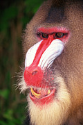 Mandrill Prints - Portrait Of A Mandrill Print by Jupiterimages