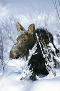 Precipitation Metal Prints - Portrait Of A Moose In The Snow Metal Print by Michael S. Quinton