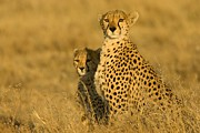 Endangered Cheetahs Art - Portrait Of A Mother Cheetah And Cub by Roy Toft