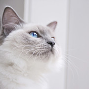 Domestic Animals Art - Portrait Of A Ragdoll Cat by Rachel Devine