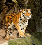 Zoo Photo Originals - Portrait of a Royal Bengal tiger by Anek Suwannaphoom