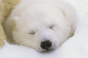 Polar Bear (ursus Maritimus) Posters - Portrait Of A Sleeping Polar Bear Cub Poster by Norbert Rosing