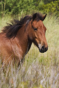 Wildlife Prints - Portrait of a Spanish Mustang Print by Bob Decker