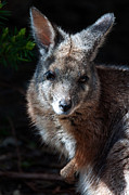 Wallaby Photos - Portrait of a Wallaby by Rob Hawkins