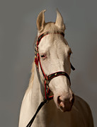 Forelock Photos - Portrait of a white horse -1 by C R Shelare