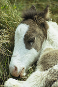 Juvenile Mammals Posters - Portrait Of A Wild Pony Foal Sleeping Poster by James L. Stanfield