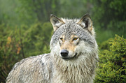 Artistic Portraiture Posters - Portrait of a wolf Poster by Andy-Kim Moeller