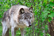 Wolf Photograph Prints - Portrait of a Wolf Print by Louise Heusinkveld