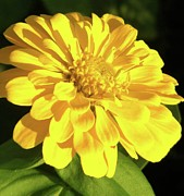 Zinna Photos - Portrait of a Yellow Zinna by Cathy Sosnowski