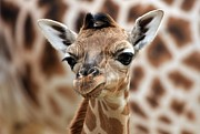 Young Giraffe Photos - Portrait Of A Young Giraffe by Marcel Schauer