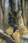 Wildcats Prints - Portrait Of A Young Male Siberian Tiger Print by Marc Moritsch