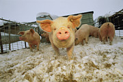 Humorous Photographs Prints - Portrait Of A Young Pig In A Snowy Pen Print by Joel Sartore