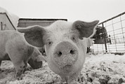 Winter Views Prints - Portrait Of A Young Pig. Property Print by Joel Sartore