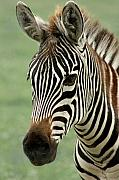 Zebra Metal Prints - Portrait of a Zebra Metal Print by Barbara  White