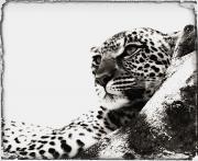 Portrait Of An African Leopard Print by Carson Ganci