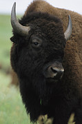 Custer State Park Prints - Portrait Of An American Bison Print by Annie Griffiths