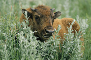 Custer State Park Posters - Portrait Of An American Bison Calf Poster by Annie Griffiths